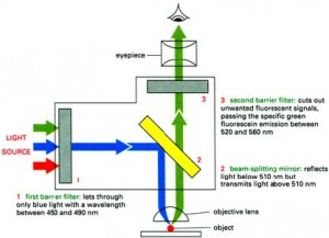 fluor_light_pathway